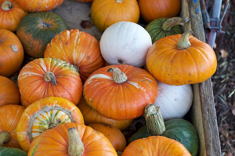 A Visit to Clancy's Pumpkin Patch